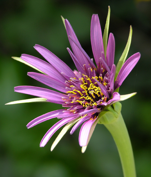 purple-weed-for-web