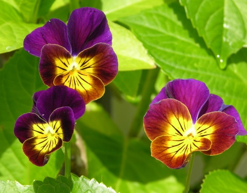 purple-yellow-pansies-for-web