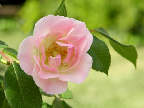 tiny-pink-rose-for-web