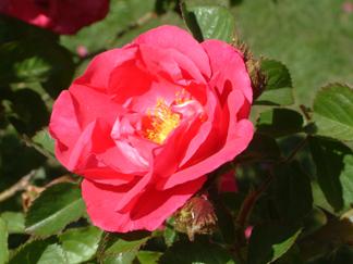 red:pink rose