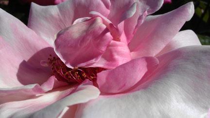 A shy rose
