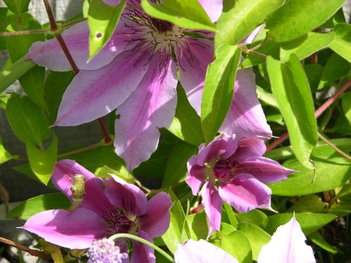 Clematis in my yard